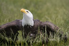 American Bald Eagle, Canadian Raptor Conservancy Royalty Free Stock Photography