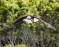 American Bald Eagle, Canadian Raptor Conservancy Royalty Free Stock Image