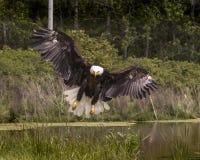 American Bald Eagle, Canadian Raptor Conservancy Stock Image