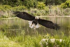 American Bald Eagle, Canadian Raptor Conservancy Stock Photos