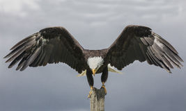 American Bald Eagle, Canadian Raptor Conservancy. Bruce the Bald Eagle landing on the stump Stock Photos