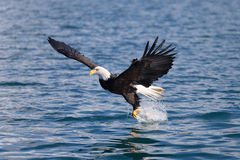 American Bald Eagle catching fish Stock Photography