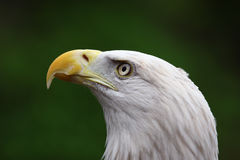 American Bald Eagle close up Royalty Free Stock Photo