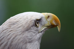 American Bald Eagle close up Royalty Free Stock Photos