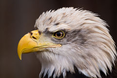 American bald eagle close-up. Portrait Stock Image