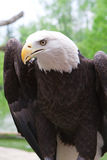 American Bald Eagle close up. Close up head shot of an American bald eagle royalty free stock image