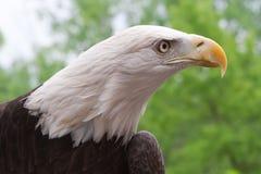 American Bald Eagle close up. Close up head shot of an American bald eagle stock photos