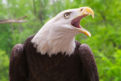 American Bald Eagle close up. Close up head shot of an American bald eagle stock images