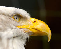American Bald Eagle close-up. Close-up of American Bald Eagle Royalty Free Stock Photography