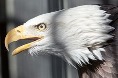 American bald eagle close up feather detail. American bald eagle close up head shot iconic bird symbol of freedom royalty free stock photography