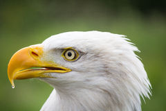 American Bald Eagle close up profile Royalty Free Stock Photos