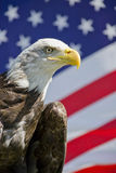 American Bald Eagle. Closeup of an American Bald Eagle with American flag in the background Stock Photo