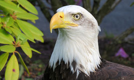 American bald eagle closeup Stock Image