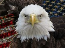 American Bald Eagle confrontation. American Bald Eagle portrait of head in front of the United States of America flag Stock Photo
