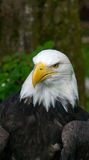 American Bald Eagle with copy space. Bald Eagle in the forest with copy space Stock Photos