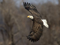 American Bald Eagle crusing. An American Bald Eagle gliding in the air Royalty Free Stock Photos