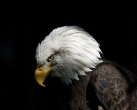 American Bald Eagle. American Eagle with dark background Royalty Free Stock Images