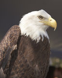 American Bald Eagle Stock Images