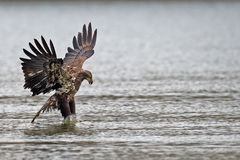 American Bald Eagle Diving Royalty Free Stock Photos