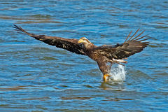 American Bald Eagle Diving Royalty Free Stock Image