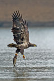 American Bald Eagle Diving Stock Photos