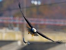 American Bald Eagle Drops Fish. American Bald Eagle in flight dropping Large fish Stock Images