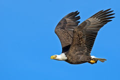 American Bald Eagle Stock Photo