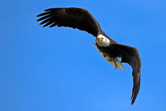 American Bald Eagle. S Battle in flight with Fish Royalty Free Stock Photos