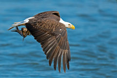 American Bald Eagle. S Battle in flight with Fish Stock Photos
