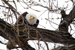 American Bald Eagle eating Stock Photo