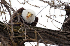 American Bald Eagle eating Stock Photos