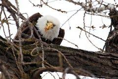 American Bald Eagle eating Stock Photos