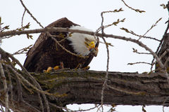 American Bald Eagle eating Royalty Free Stock Image