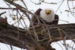 American Bald Eagle eating Royalty Free Stock Images