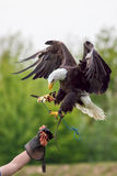 American bald eagle with falconer. Bird of prey at falconry disp. American bald eagle Haliaeetus leucocephalus with falconer. Bird of prey at falconry display Stock Photo
