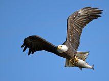 American Bald Eagle with Fish Royalty Free Stock Photo