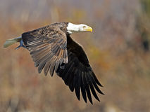 American Bald Eagle with Fish Royalty Free Stock Photography