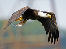 American Bald Eagle with Fish Royalty Free Stock Image