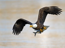 American Bald Eagle with Fish. American Bald Eagle in flight with Large fish in talons Royalty Free Stock Photo