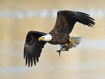 American Bald Eagle with Fish. American Bald Eagle flying with large fish Stock Image