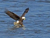 American Bald Eagle Fish Grab Stock Photo