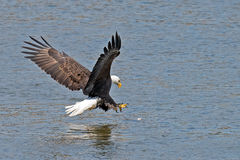 American Bald Eagle Fish Grab Royalty Free Stock Images