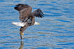 American Bald Eagle Fish Grab royalty free stock photography