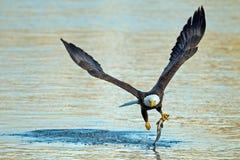 American Bald Eagle Fish Grab Royalty Free Stock Photography