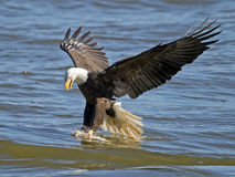 American Bald Eagle Fish Grab Stock Photography