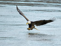 American Bald Eagle Fish Grab. American Bald Eagle Grabbing Fish Stock Photo