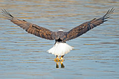 American Bald Eagle Fish Grab. A rear view of an American Bald Eagle Grabbing Fish royalty free stock images