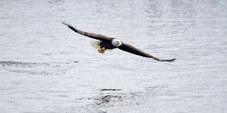 American Bald Eagle Fishing the Mississippi River Stock Images
