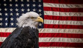 American Bald Eagle with Flag. American Bald Eagle - symbol of america -with flag. United States of America patriotic symbols Royalty Free Stock Photo
