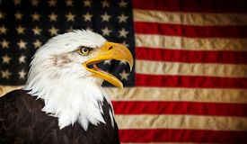 American Bald Eagle with Flag. American Bald Eagle - symbol of america -with flag. United States of America patriotic symbols Stock Photo